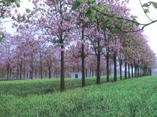 Paulownia plantation with blossoms