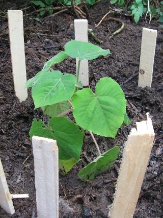 Paulownia la plantare