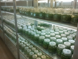 The strict sterility is important for the future growth of paulownia tissue culture.